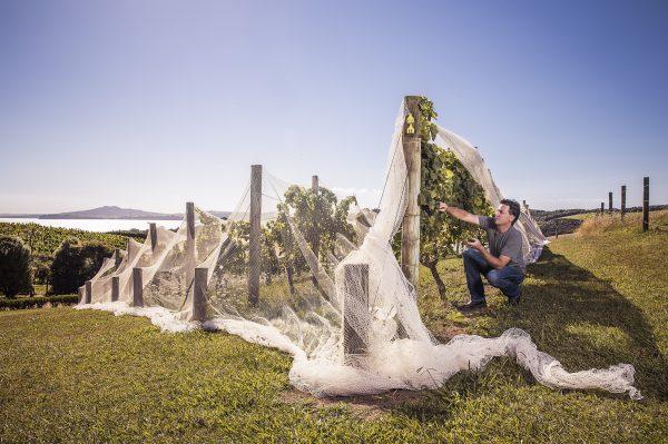 A worker checks a vine at Mudbrick Vineyard Waiheke Island