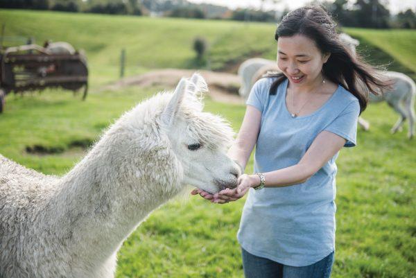 Asian woman hand feeds an Alpaca at Agrodome Waikato