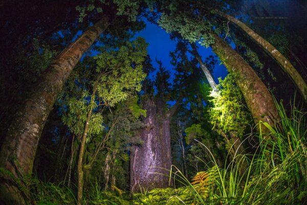 Te Matua Ngahere at Night