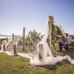 A worked checks a vine at Mudbrick Vineyard Waiheke Island