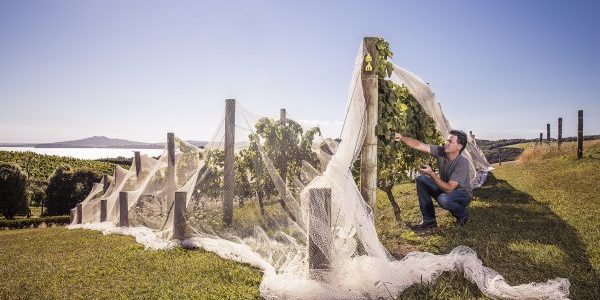 A worker checks a vine at Mudbrick Vineyard Waiheke Island