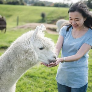 Asian woman hand feeds an Alpaca at Agrodome Waikato