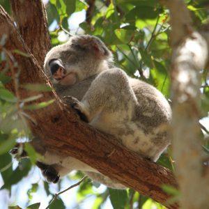 Koala sleeping in a tree in the wild