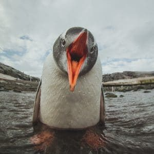 Gentoo Penguin with open beak in Antarctica